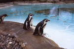 more Humboldt penguins at the London Zoo